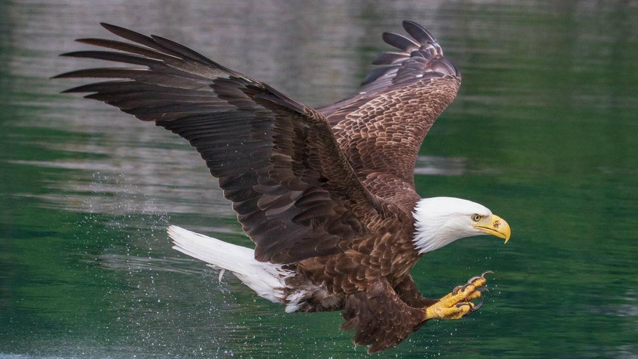 Bald Eagle Tourism Windsor Essex Pelee Island